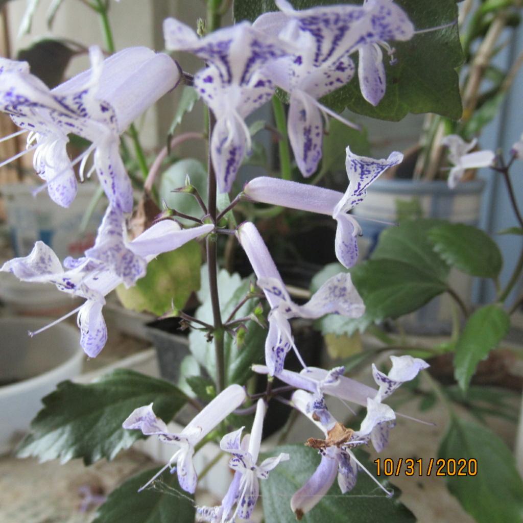 Plectranthus 'Mona Lavender' - Page 4 Img_5228