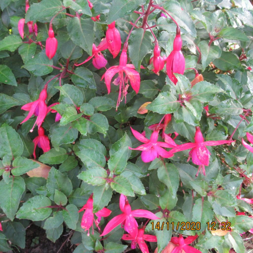 Fuchsia - Page 4 Img_5326