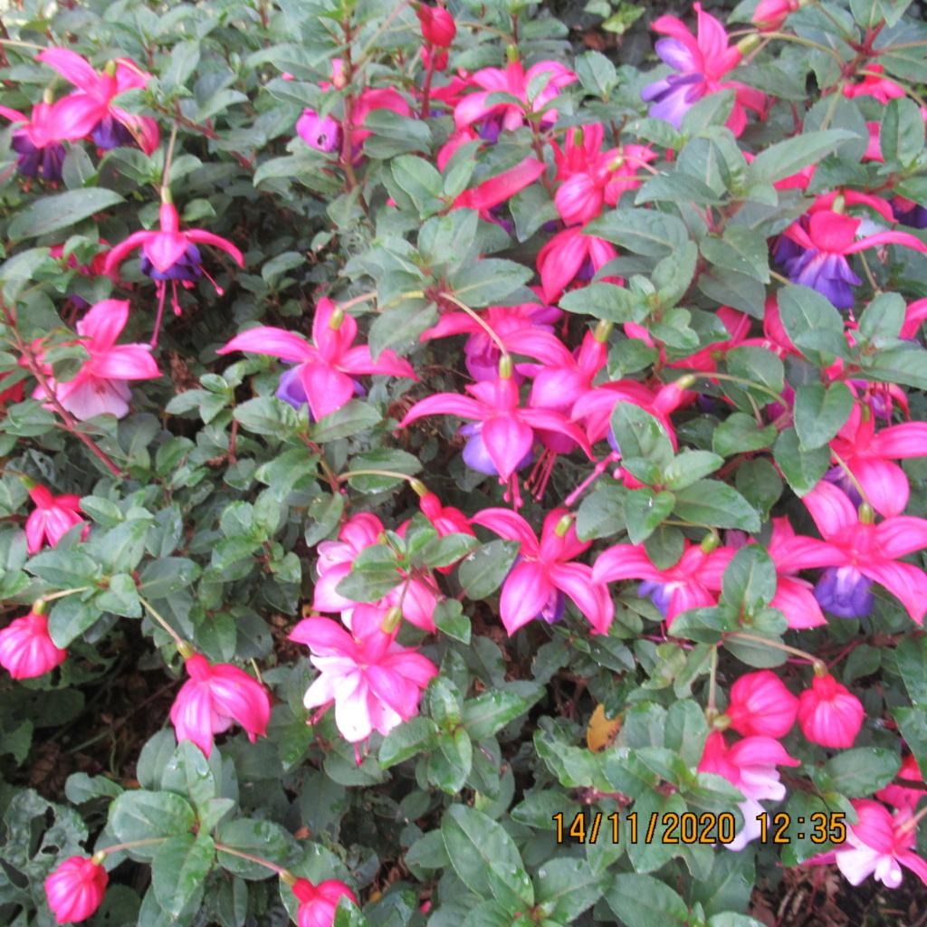 Fuchsia - Page 4 Img_5330