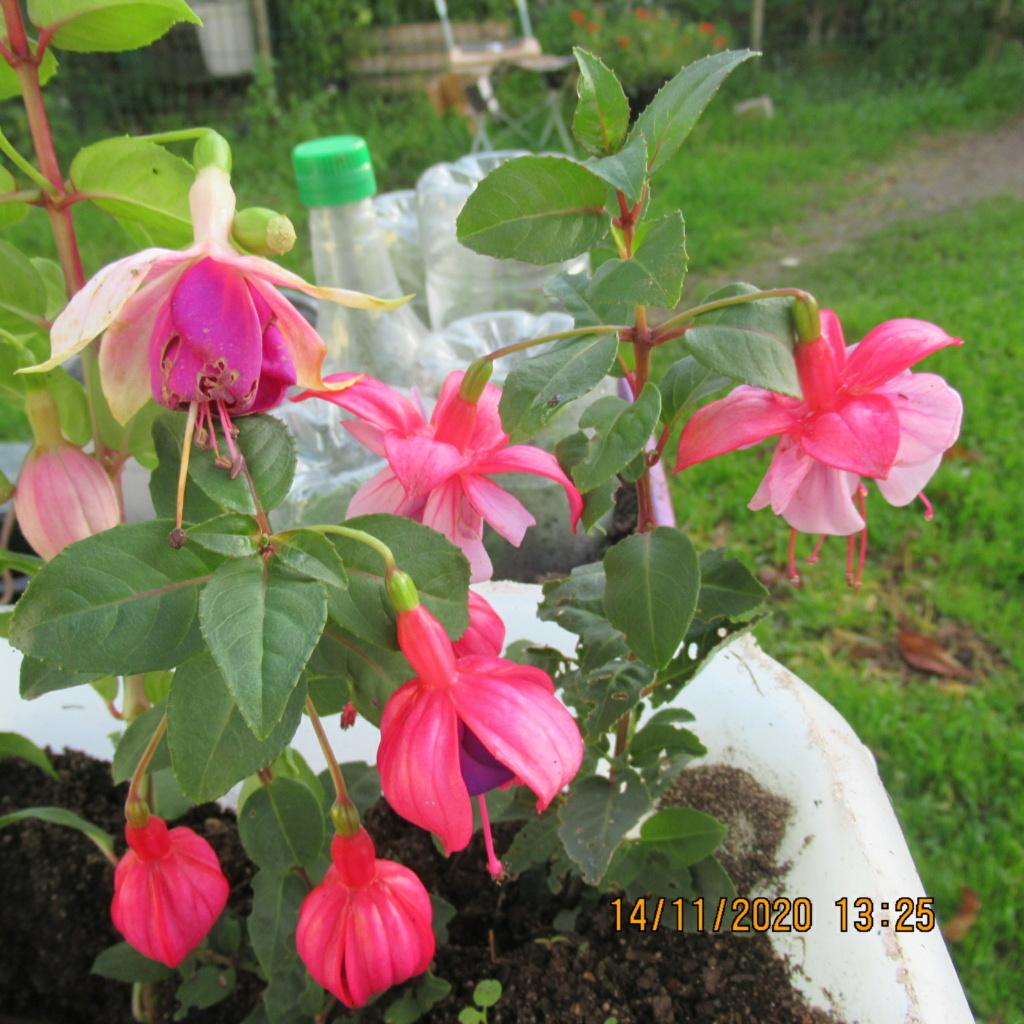 Fuchsia - Page 4 Img_5331