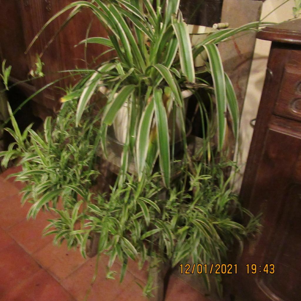 Chlorophytum ou plante araignée  - Page 2 Img_5447