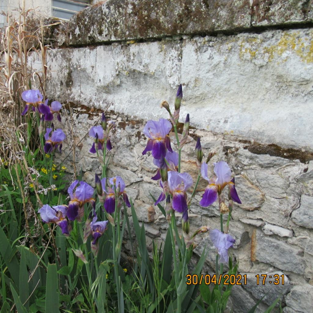 Floraison d'iris de 2017 ....... à 2021 - Page 22 Img_5743