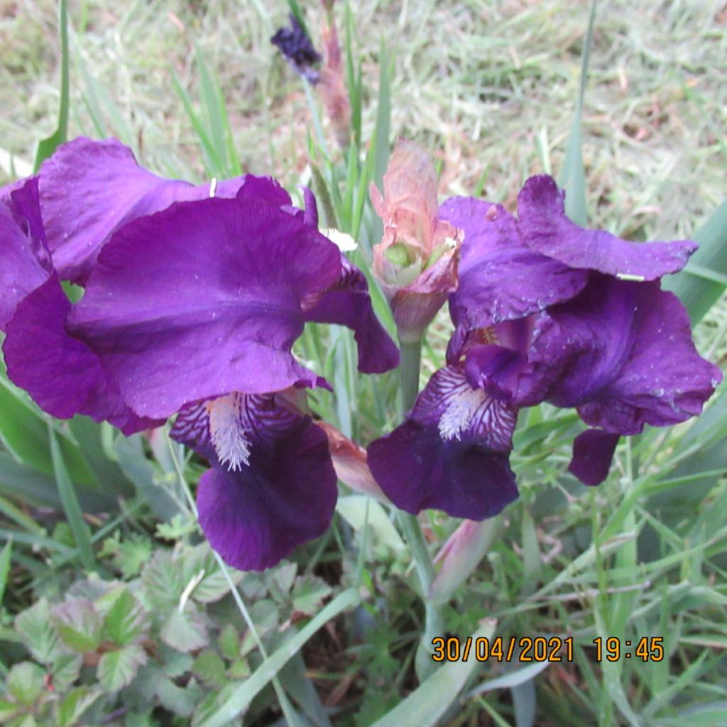 Floraison d'iris de 2017 ....... à 2021 - Page 22 Img_5746