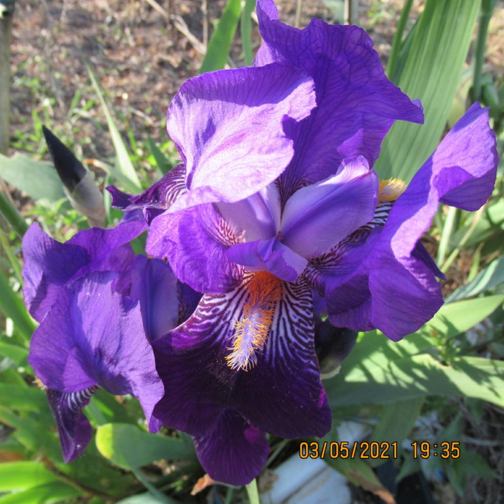 Floraison d'iris de 2017 ....... à 2021 - Page 23 Img_5814