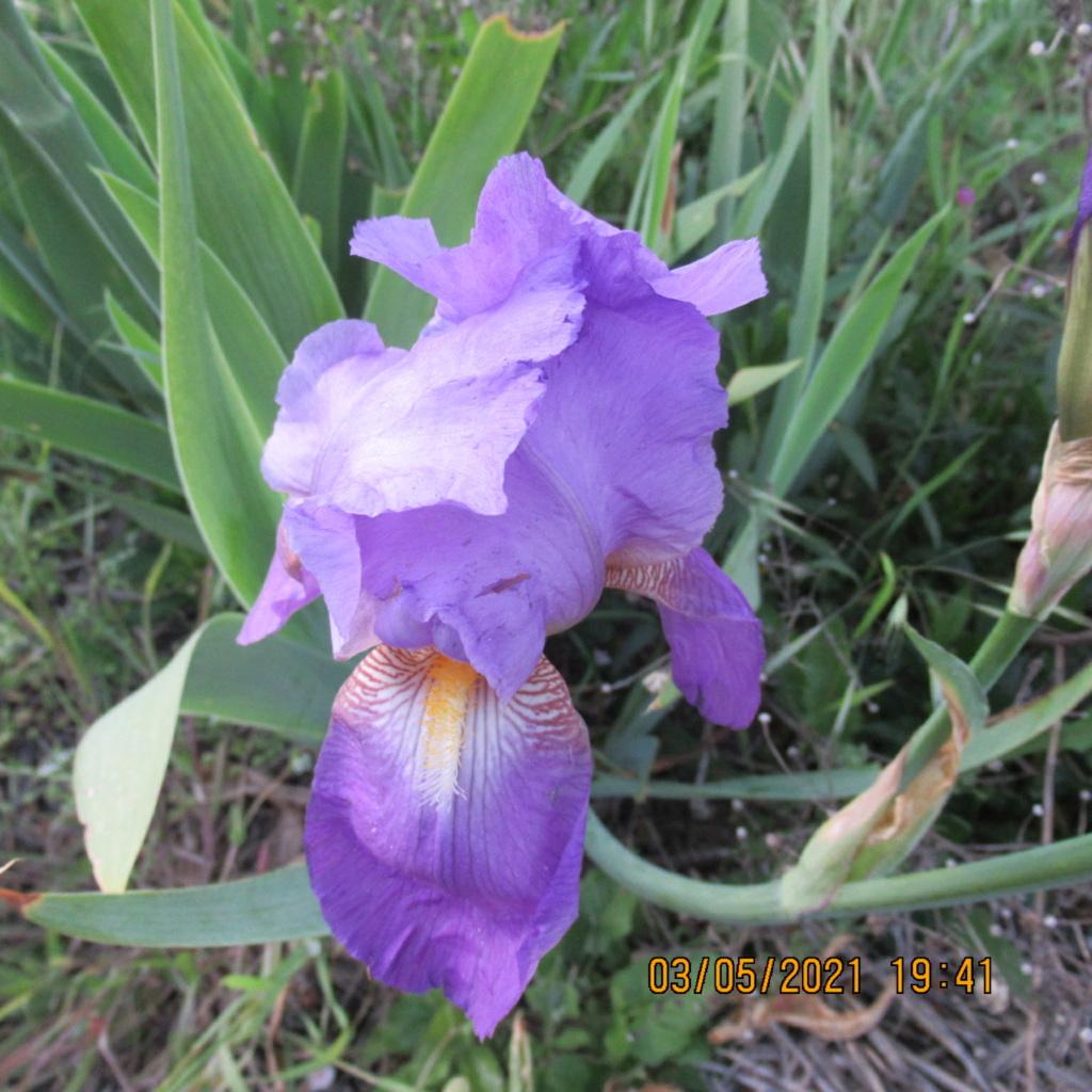 Floraison d'iris de 2017 ....... à 2021 - Page 23 Img_5816