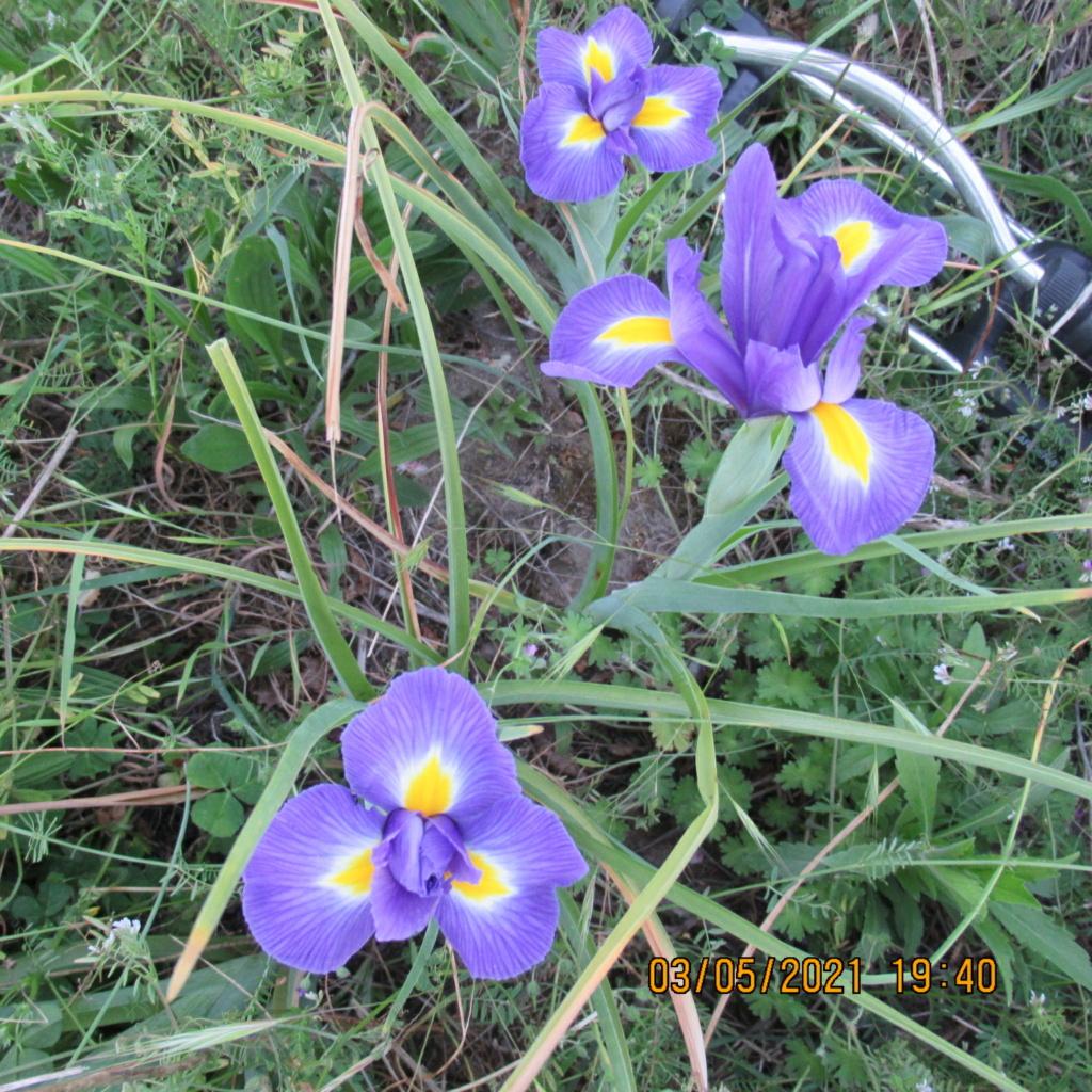Floraison d'iris de 2017 ....... à 2021 - Page 23 Img_5817
