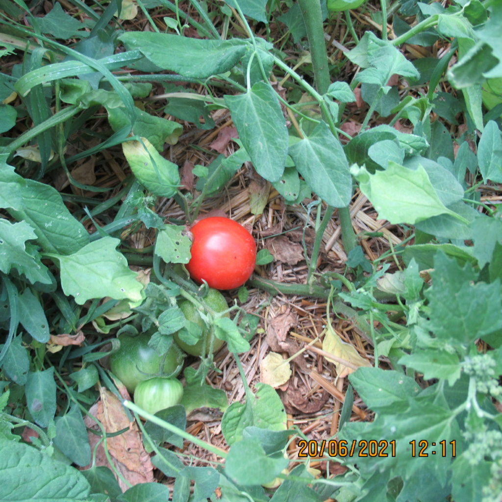 Tomates 2019 - 2020 et 2021 - Page 24 Img_6235
