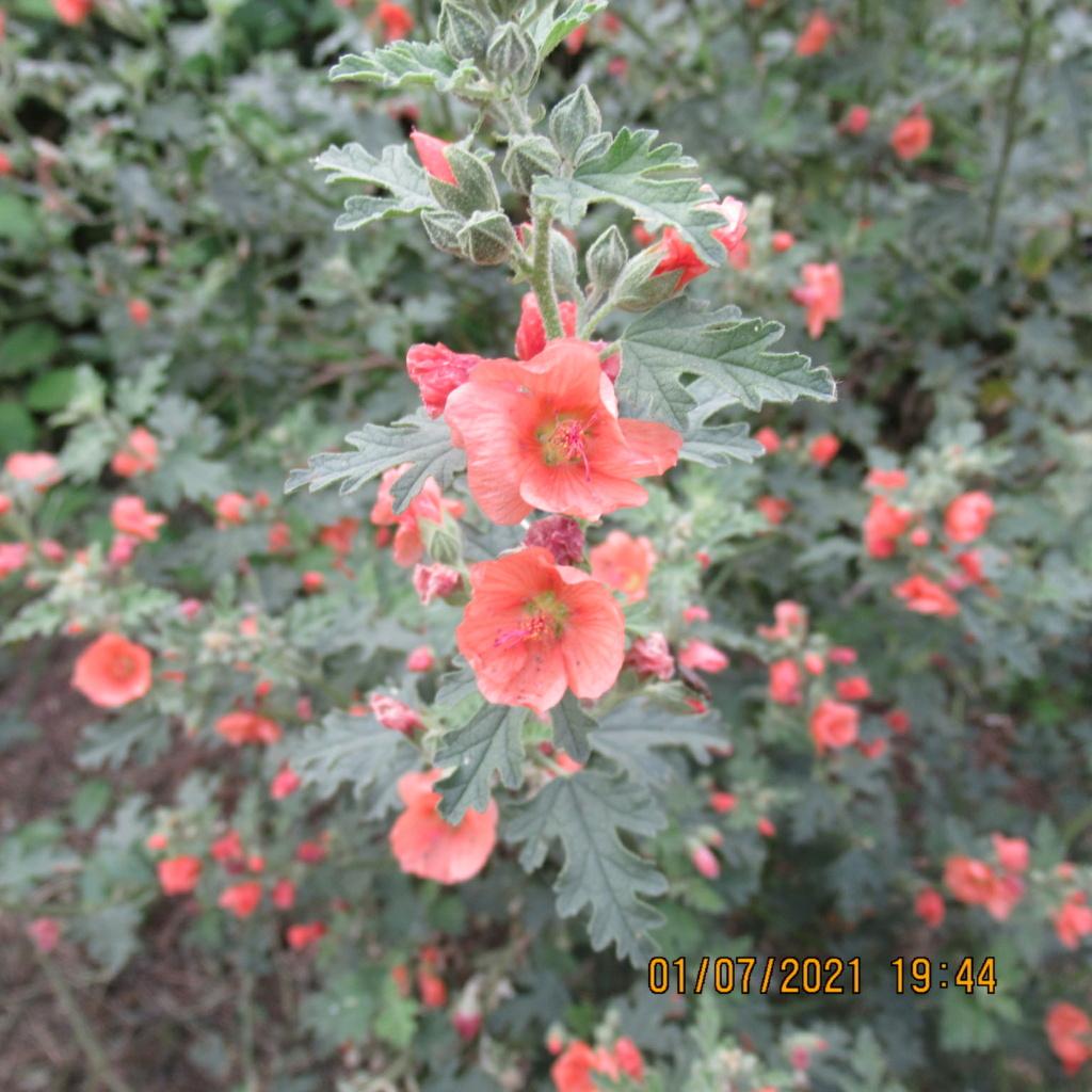 Sphaeralcea 'Childerley - Page 3 Img_6326