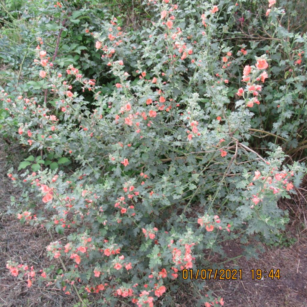 Sphaeralcea 'Childerley - Page 3 Img_6327