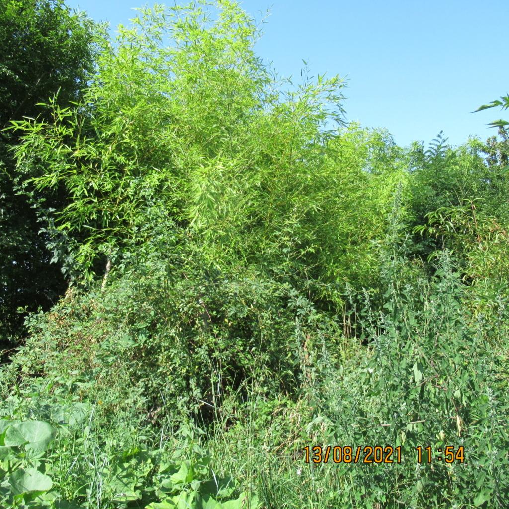 L'osier au jardin : plessis - haie végétale - cabane - tipi - Page 4 Img_6831