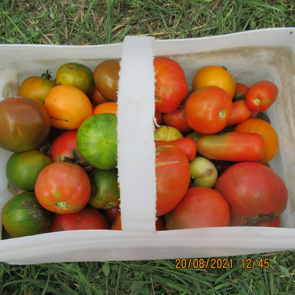 Tomates 2019 - 2020 et 2021 - Page 31 Img_6937