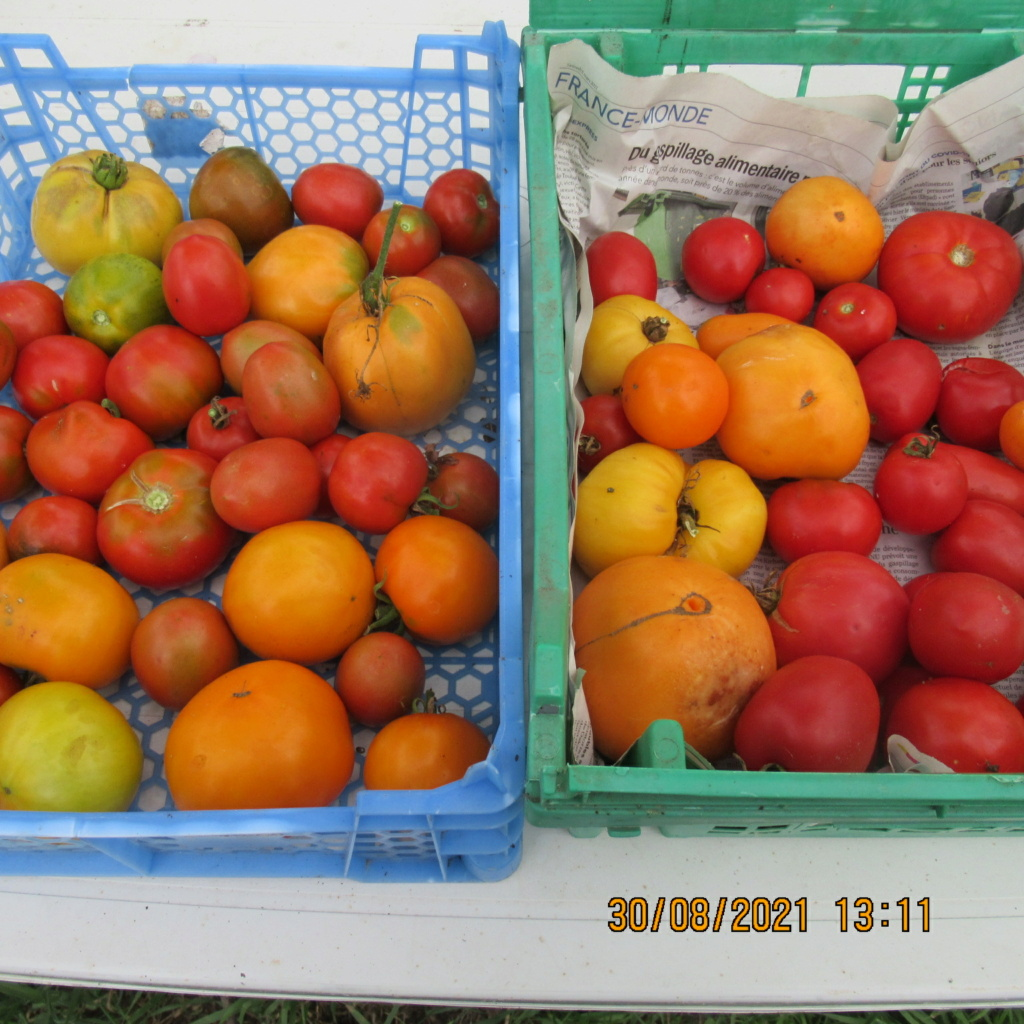 Tomates 2019 - 2020 et 2021 - Page 32 Img_7013