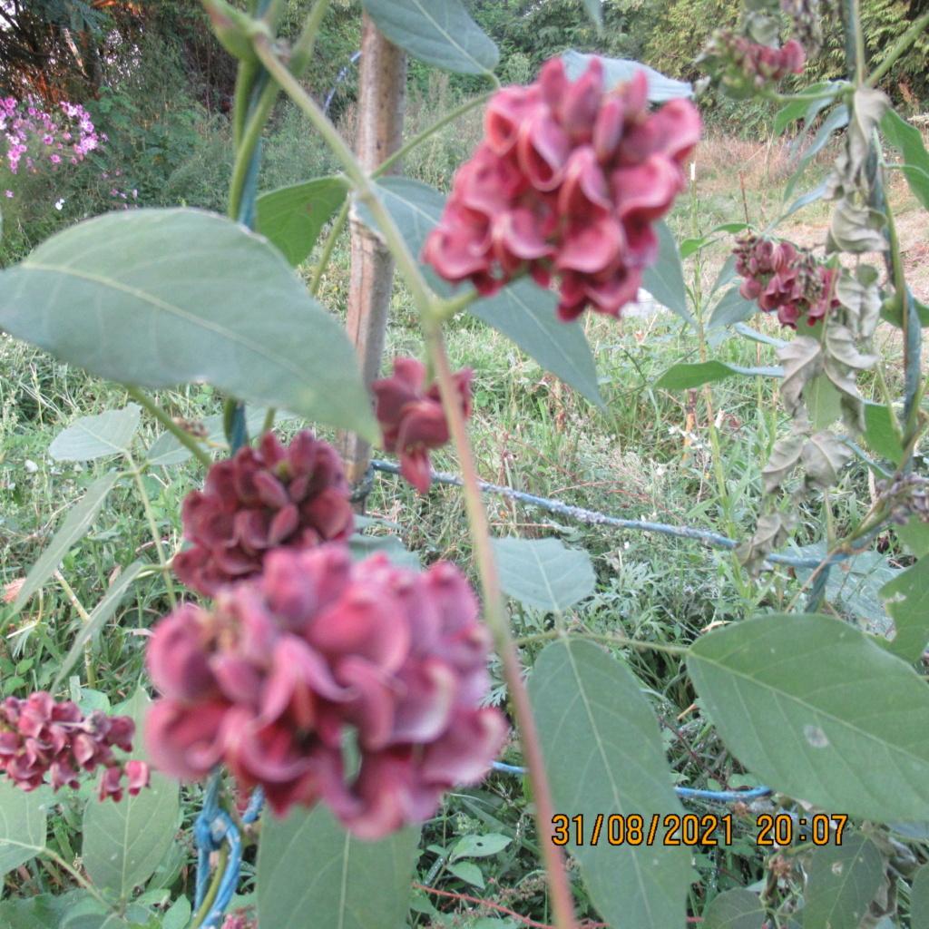 glycine tubéreuse ou apios  americana Img_7030