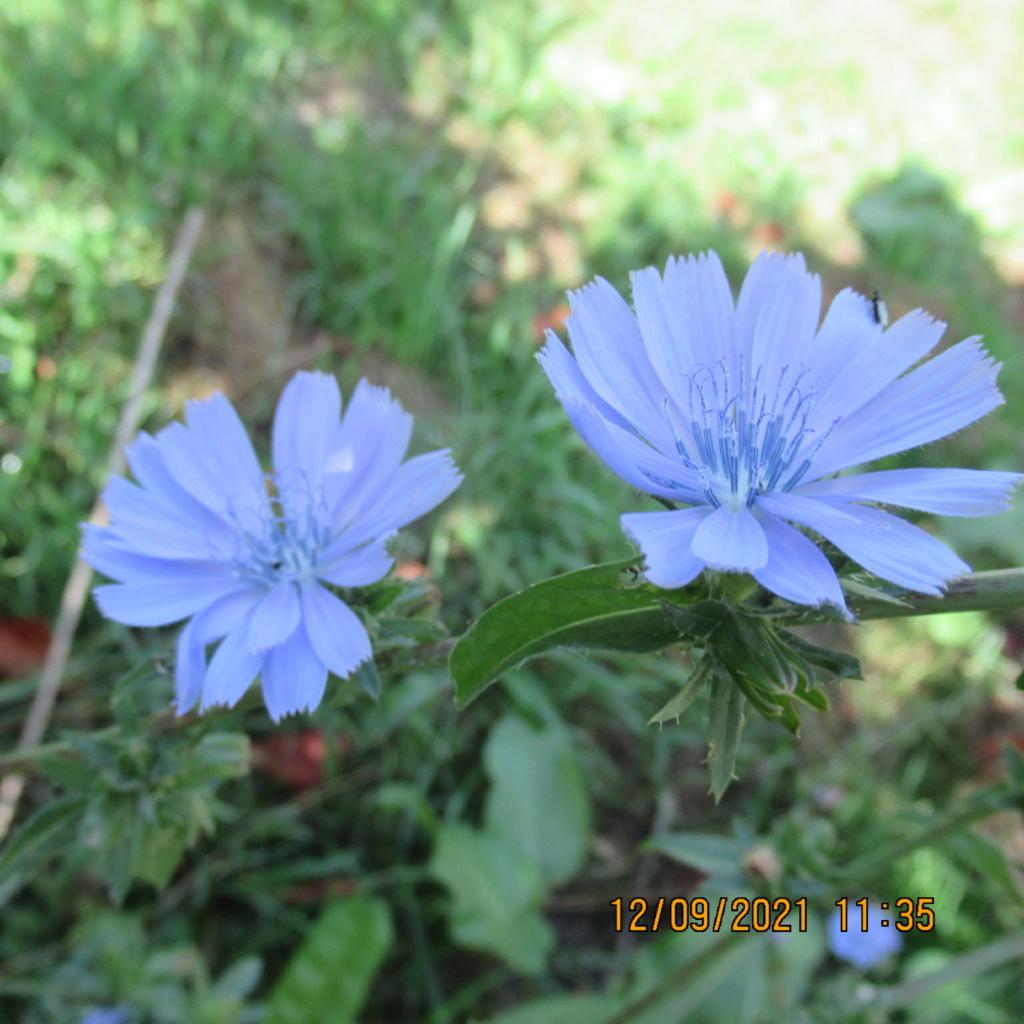 cichorium intybus (Chicorée sauvage) Img_7117