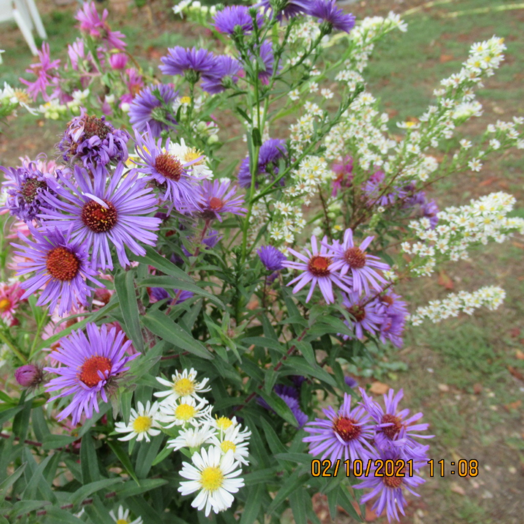Aster d'automne  - Page 24 Img_7221