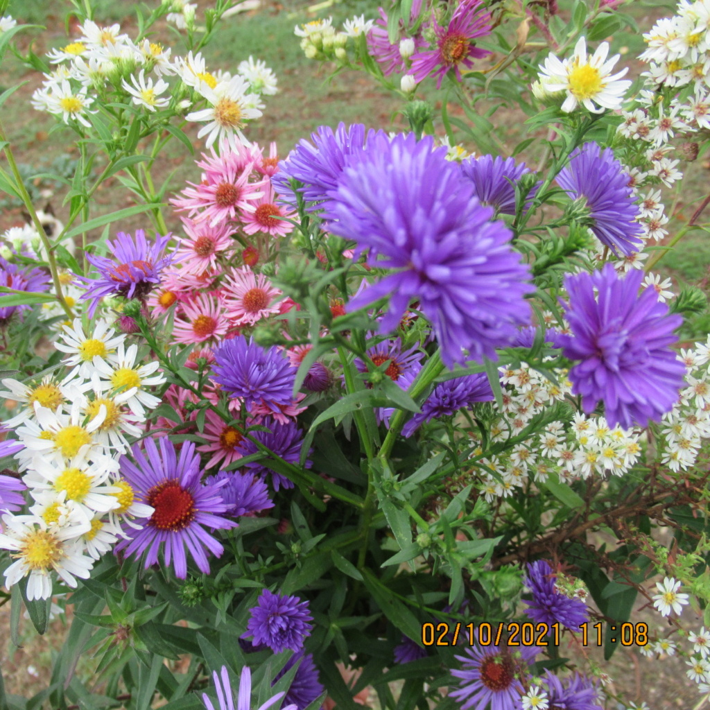 Aster d'automne  - Page 24 Img_7223