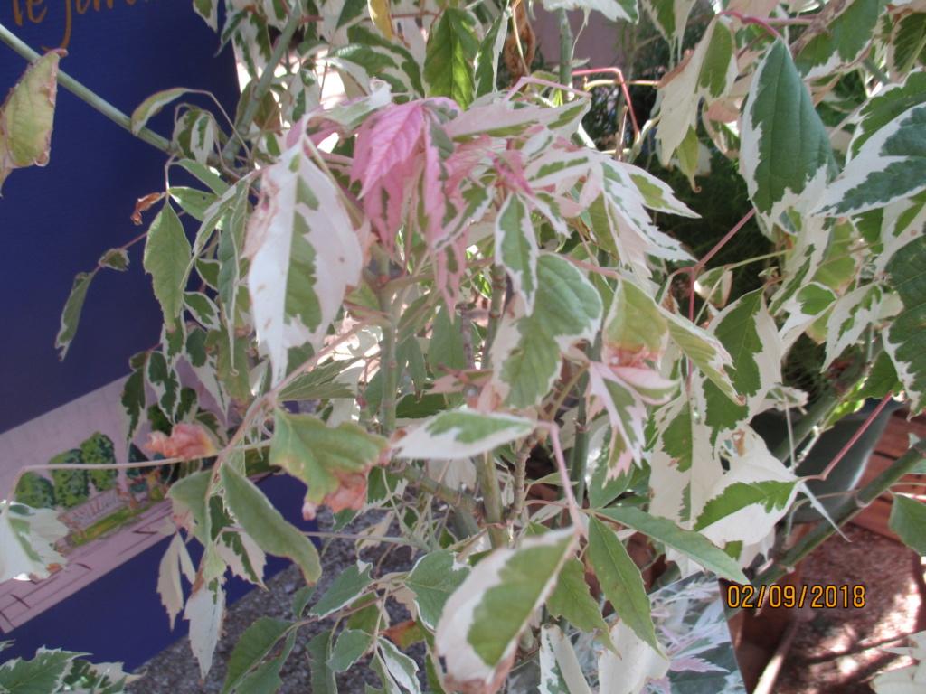 Plantes à feuillage panaché  Img_9519