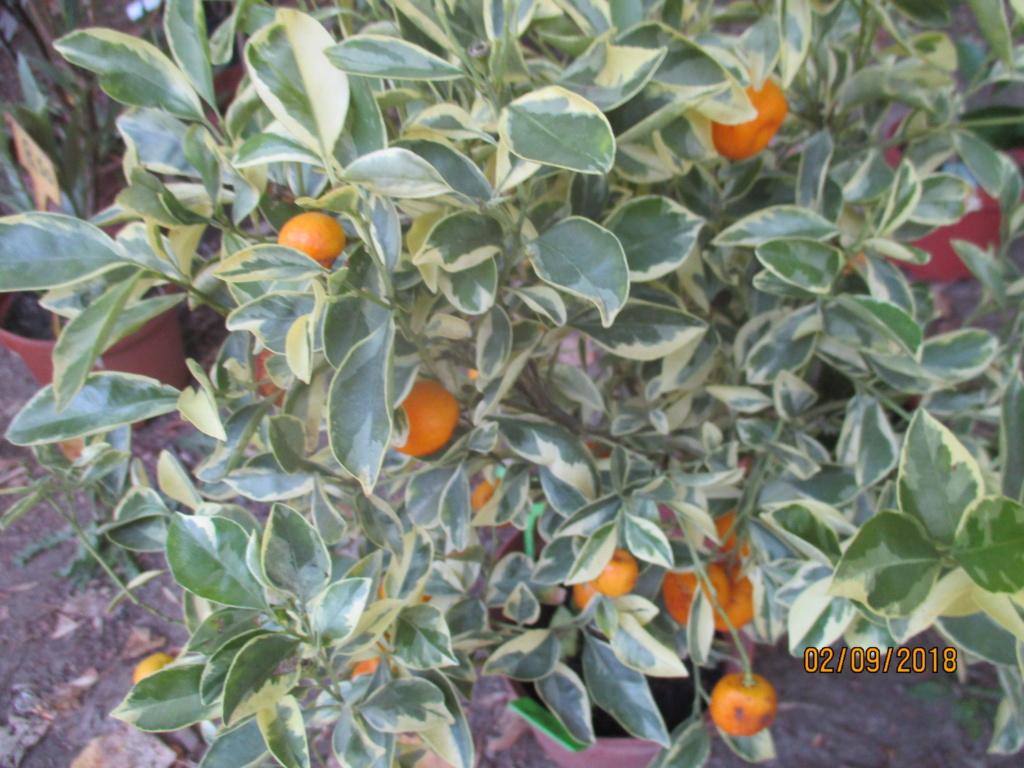 Plantes à feuillage panaché  Img_9520