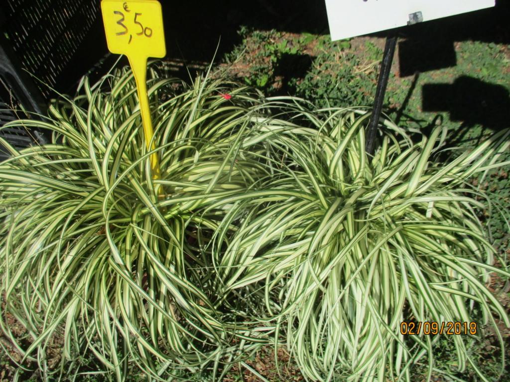 Plantes à feuillage panaché  Img_9521
