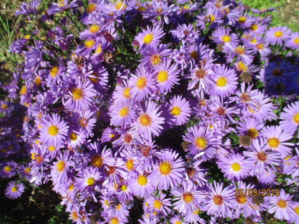 Aster d'automne  - Page 21 Img_9815