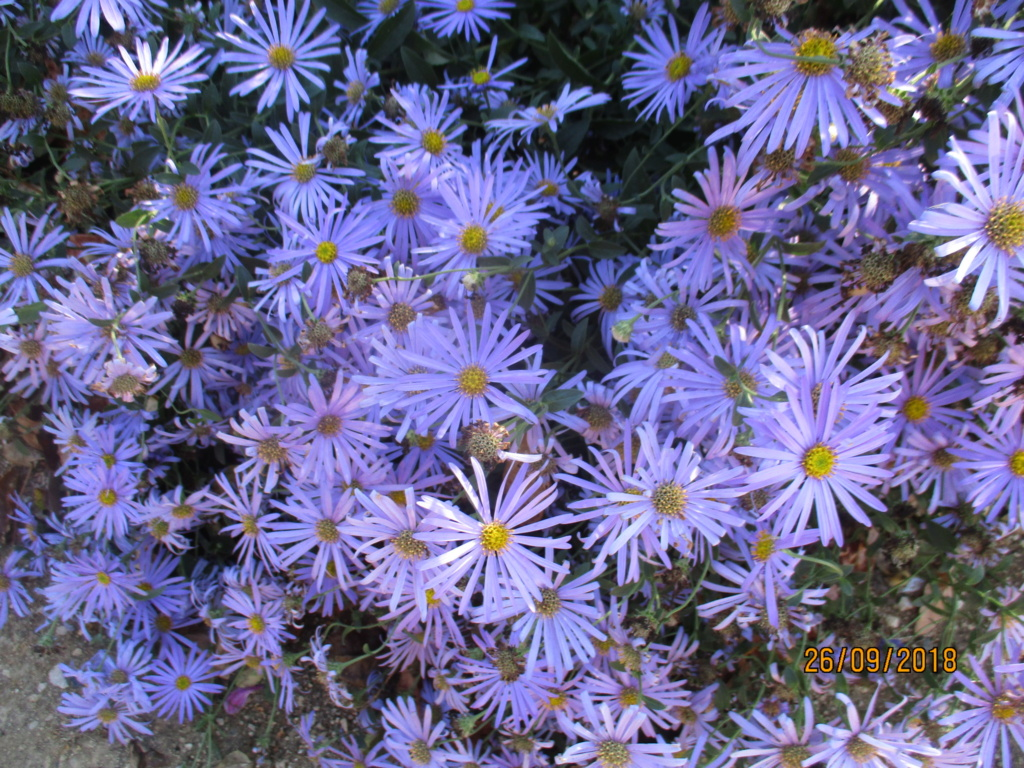 Aster d'automne  - Page 21 Img_9816