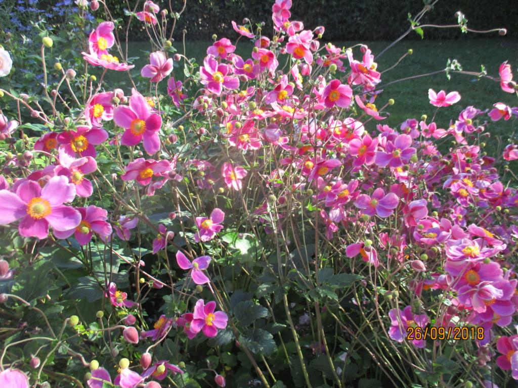 anemones du japon  - Page 5 Img_9820