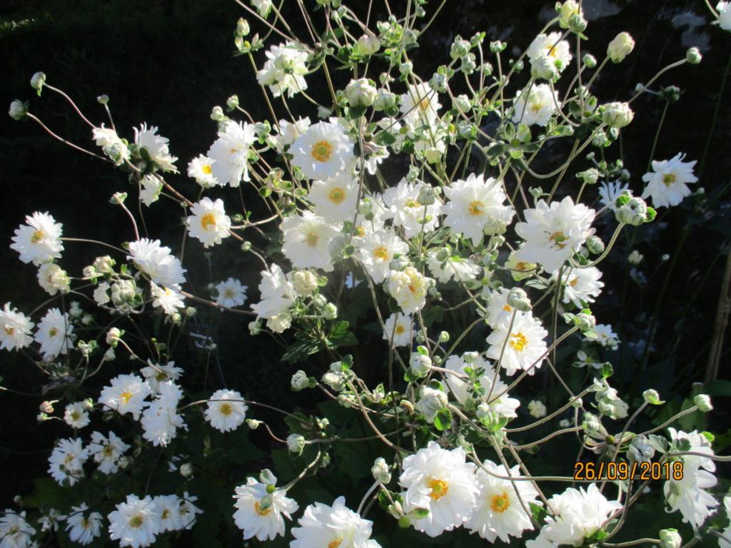 anemones du japon  - Page 5 Img_9822