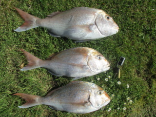 Rhods Snappers  Img_5310