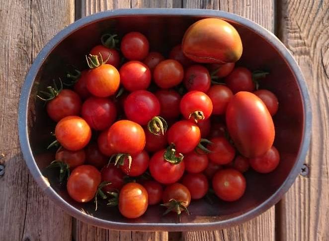Équinoxe d'automne 2018 Tomate10