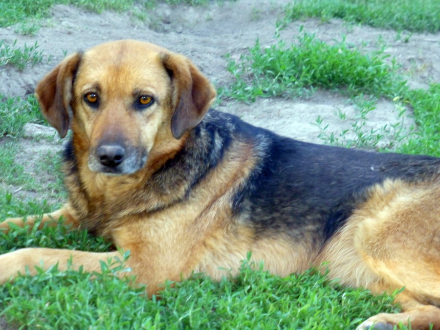 JELLY (ex JERRY) F-X, taille moyenne, env. 20 kg, née 2011 (BACKA) - Prise en charge SPA Pontarlier P1250110