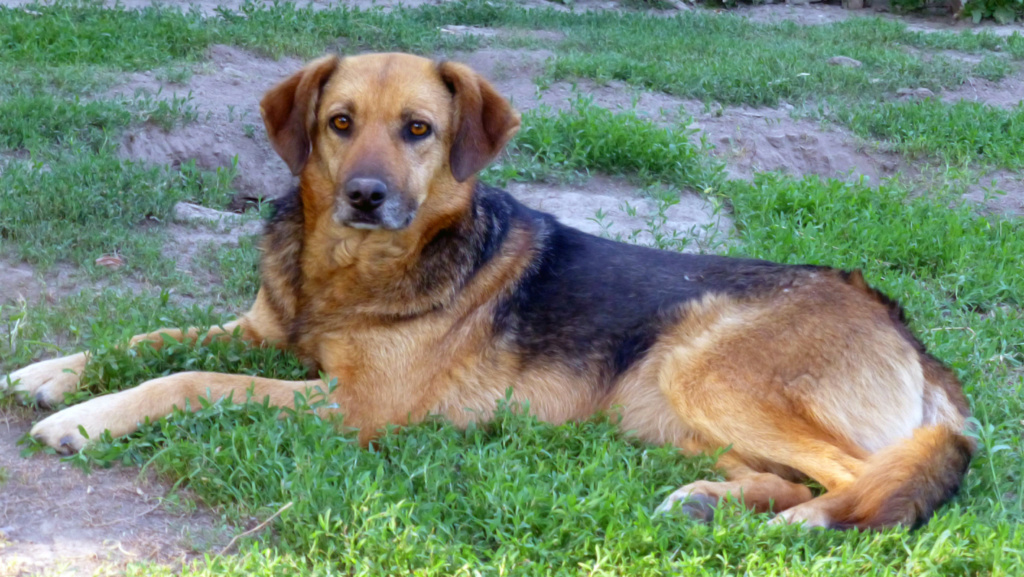 JELLY (ex JERRY) F-X, taille moyenne, env. 20 kg, née 2011 (BACKA) - Prise en charge SPA Pontarlier P1250111