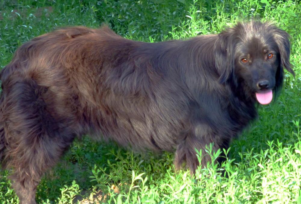 djina - DJINA X-F, taille moyenne, env. 18 kg, née 2012 Ancien de Backa (BELLA) Prête à voyager P1250119