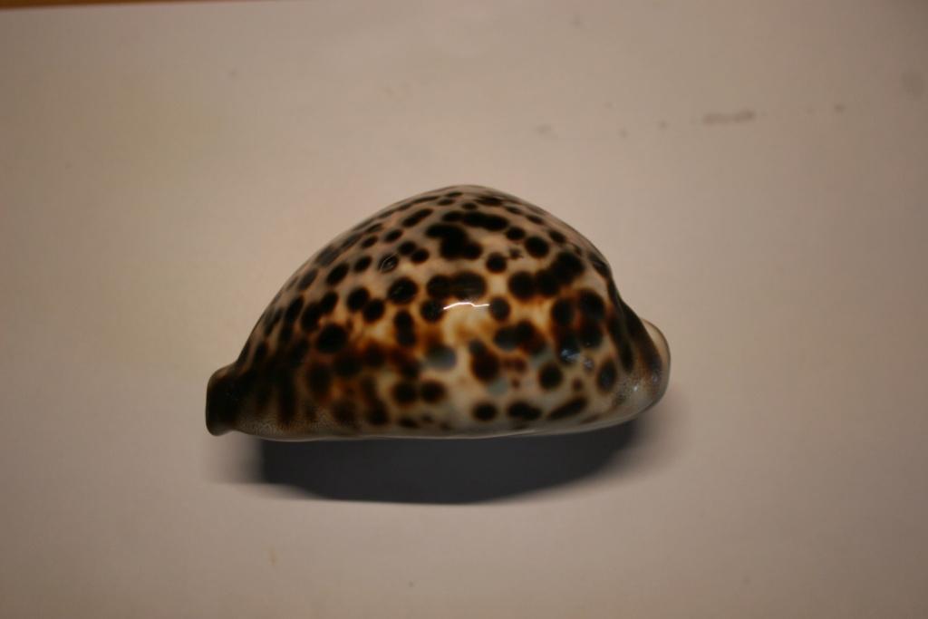Cypraea tigris - Linnaeus, 1758 Cyprae46
