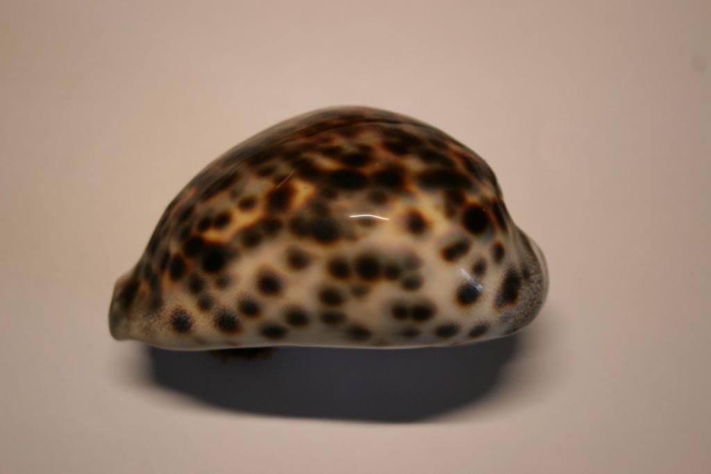 Cypraea tigris - Linnaeus, 1758 Cyprae49