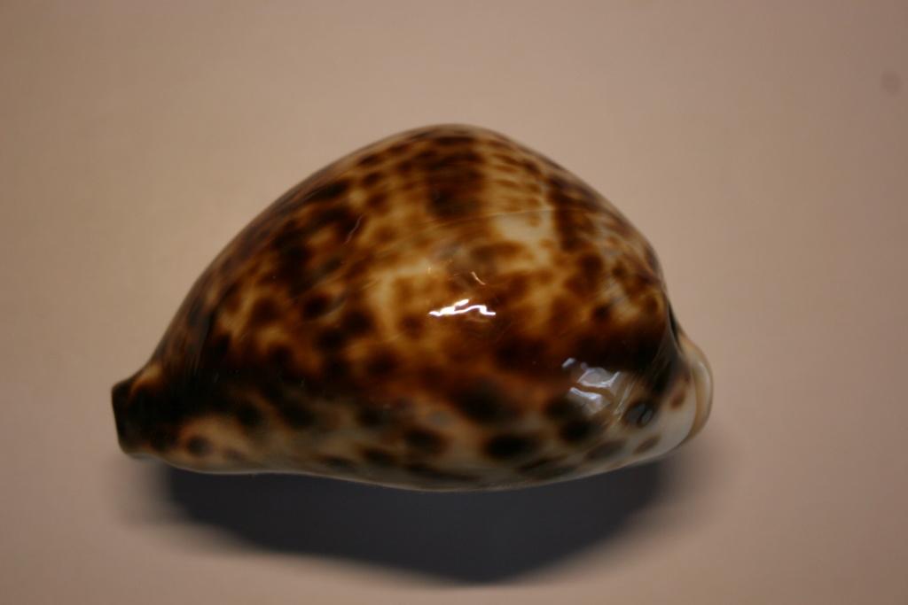 Cypraea_tigris_Linnaeus, 1758 Cyprae58