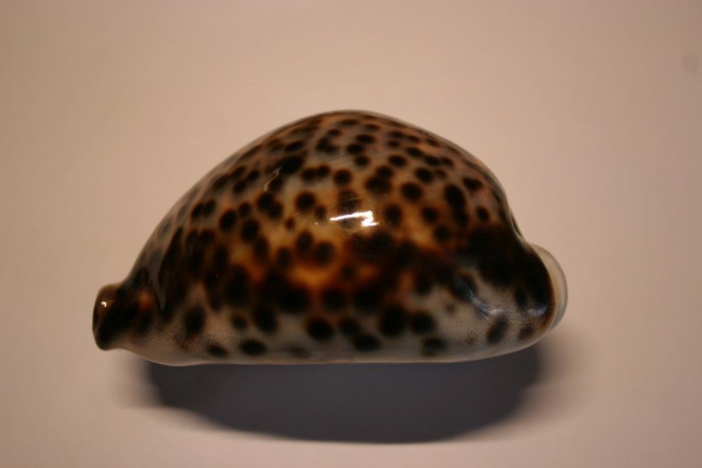 Cypraea tigris - Linnaeus, 1758 Cyprae60