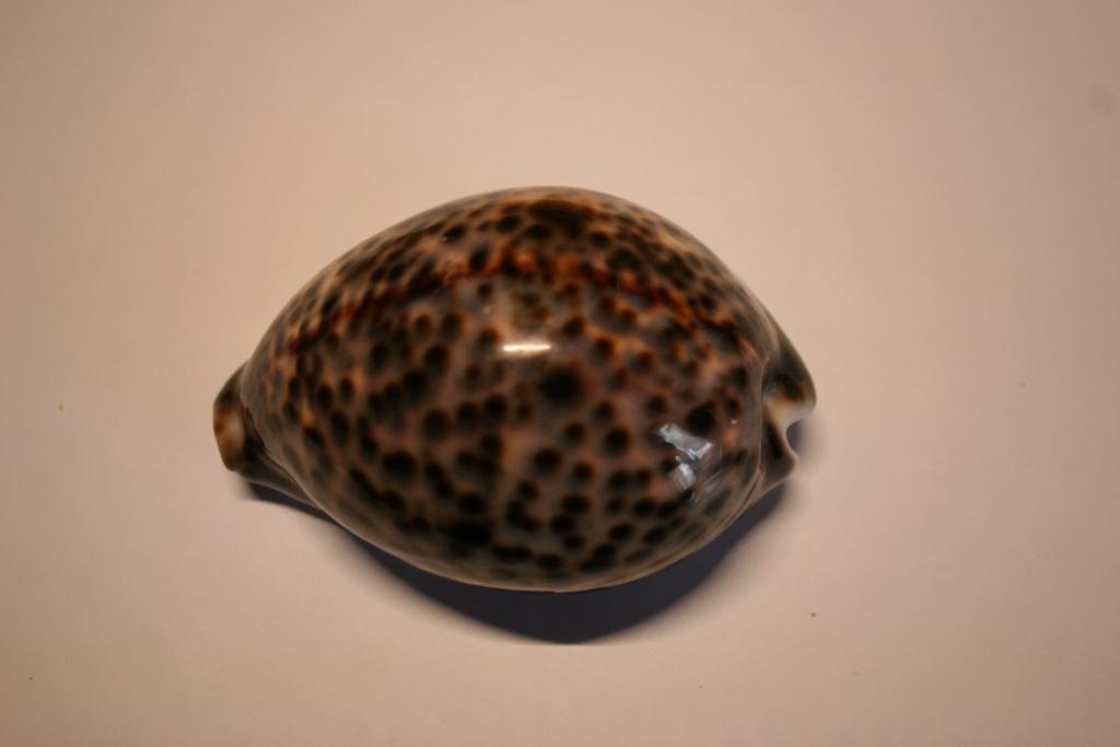 Cypraea tigris - Linnaeus, 1758 Cyprae66
