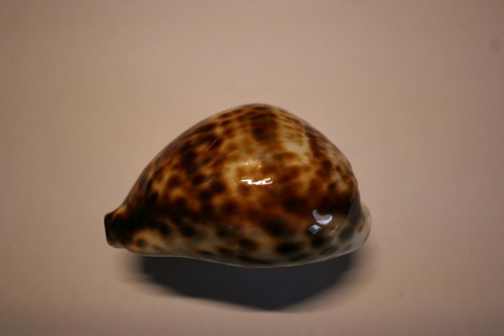 Cypraea_tigris_Linnaeus, 1758 Cyprae69