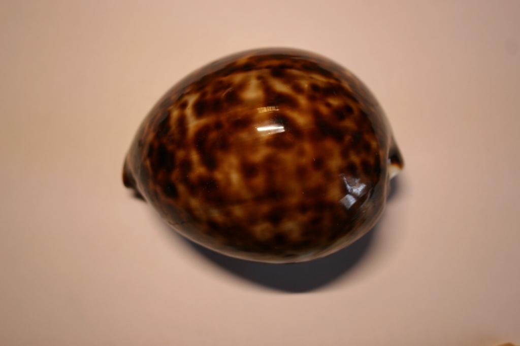 Cypraea tigris - Linnaeus, 1758 Cyprae81