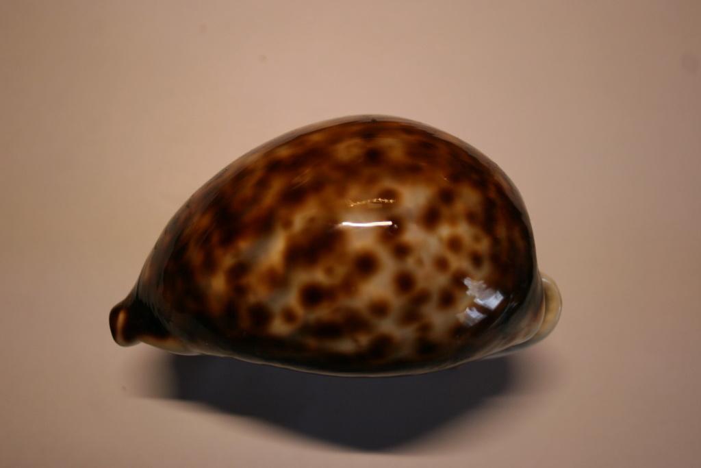 Cypraea tigris - Linnaeus, 1758 Cyprae83