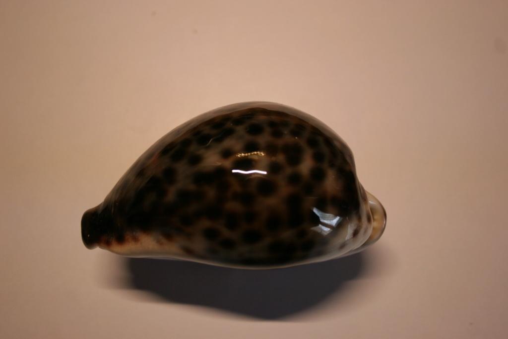 Cypraea_tigris_Linnaeus, 1758 Cyprae85