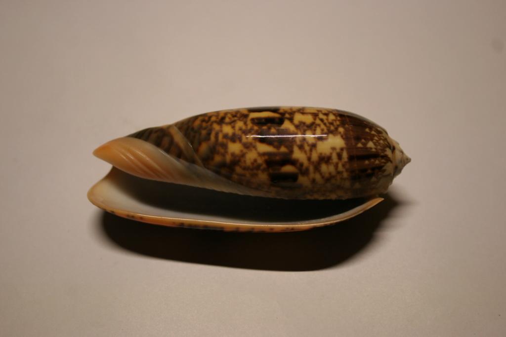 Miniaceoliva tremulina (Lamarck, 1811) Oliva_10