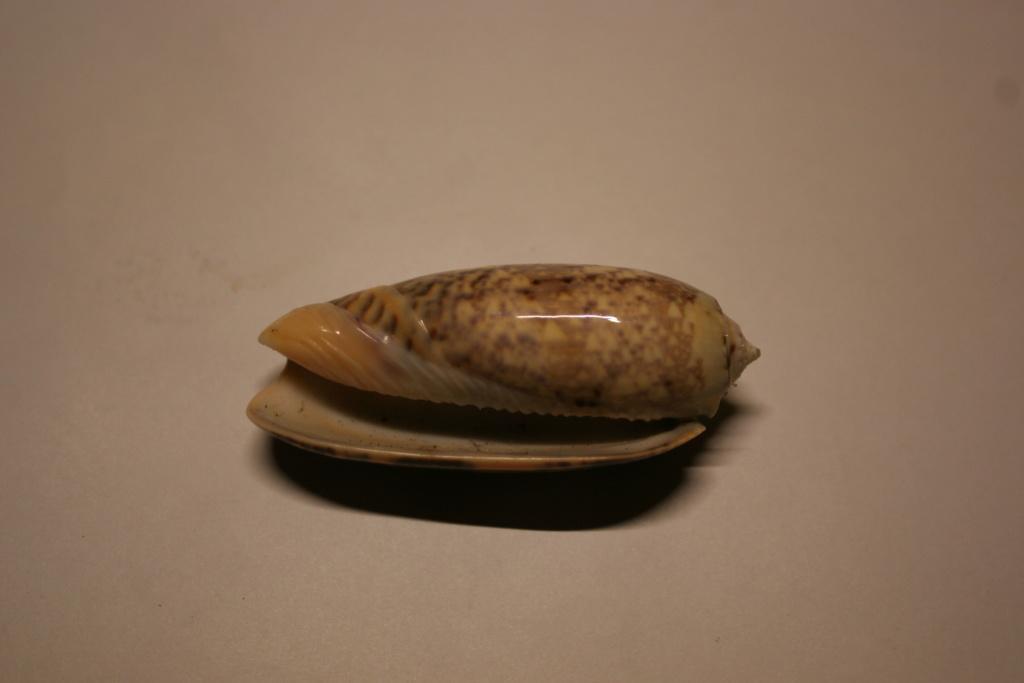 Miniaceoliva tremulina (Lamarck, 1811) Oliva_23