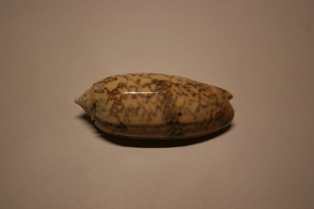 Miniaceoliva tremulina (Lamarck, 1811) Oliva_25
