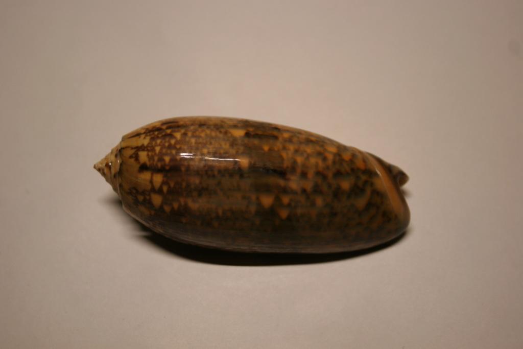 Miniaceoliva tremulina (Lamarck, 1811) Oliva_32