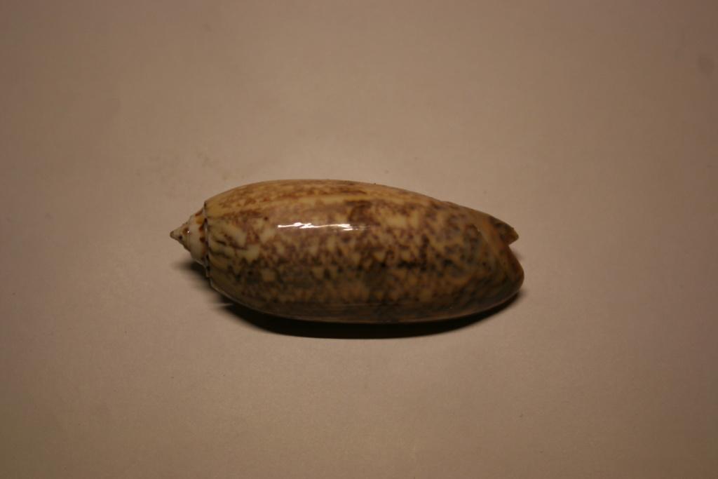 Miniaceoliva tremulina (Lamarck, 1811) Oliva_38