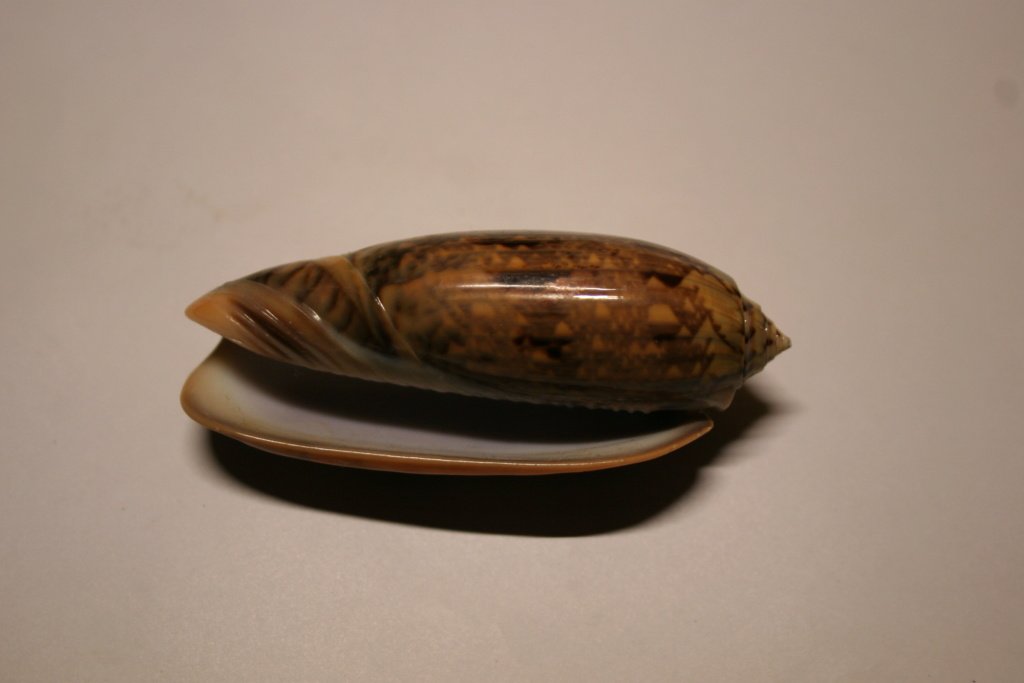 Miniaceoliva tremulina (Lamarck, 1811) Oliva_44