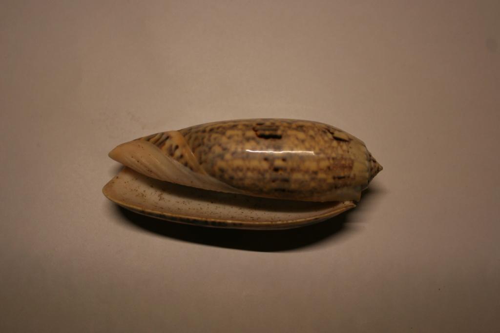 Miniaceoliva tremulina (Lamarck, 1811) Oliva_47