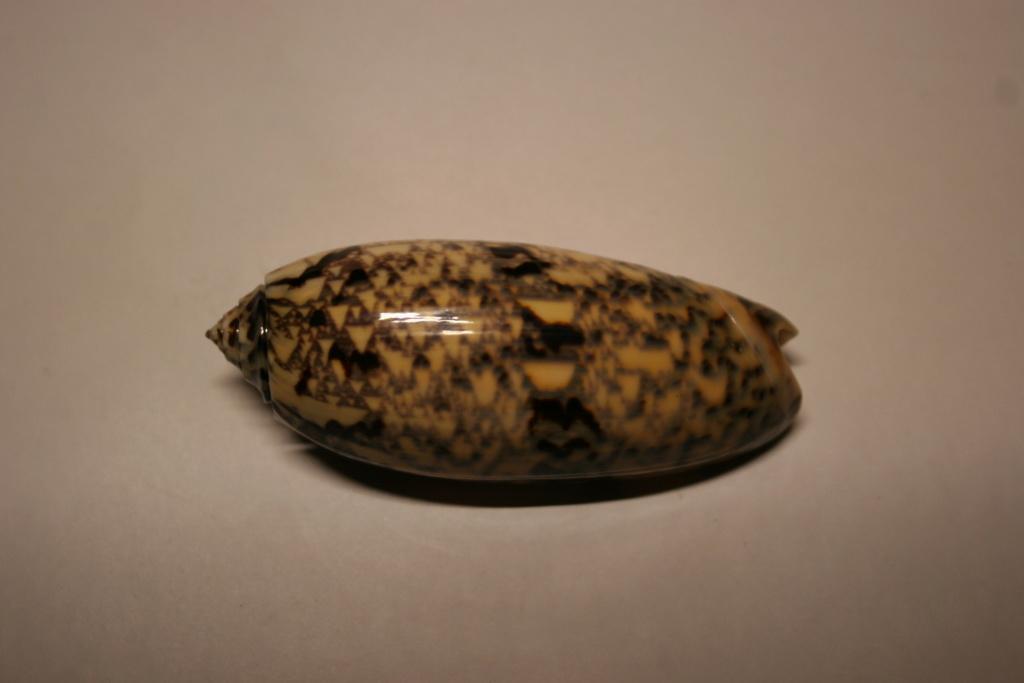 Miniaceoliva tremulina (Lamarck, 1811) Oliva_49