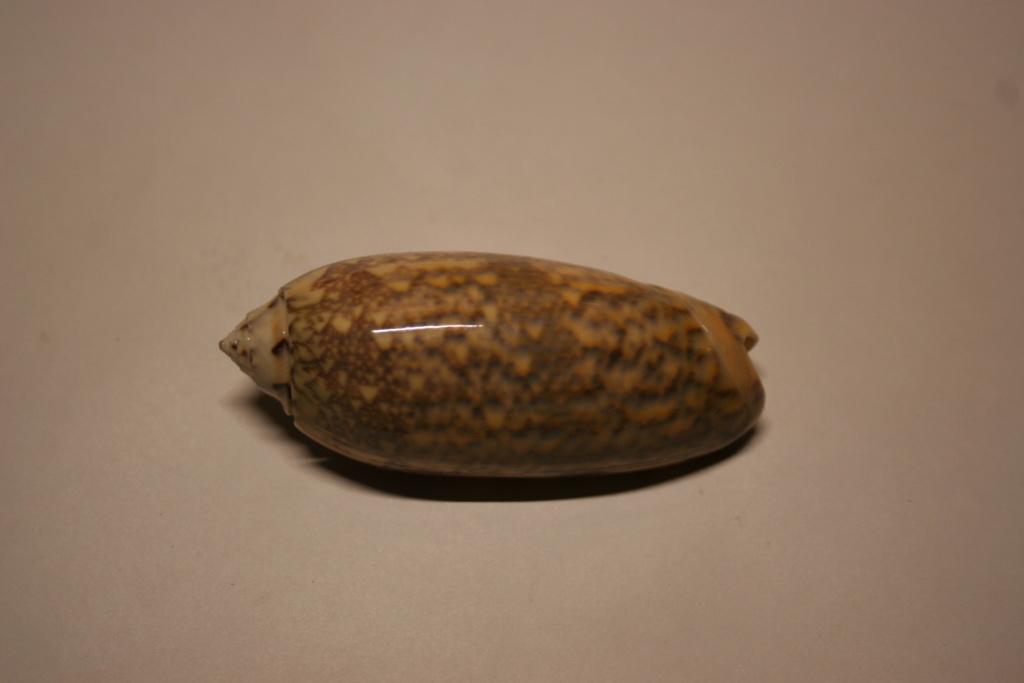 Miniaceoliva tremulina (Lamarck, 1811) Oliva_51